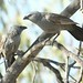 Small photo of Apostlebird (Struthidea cinerea)