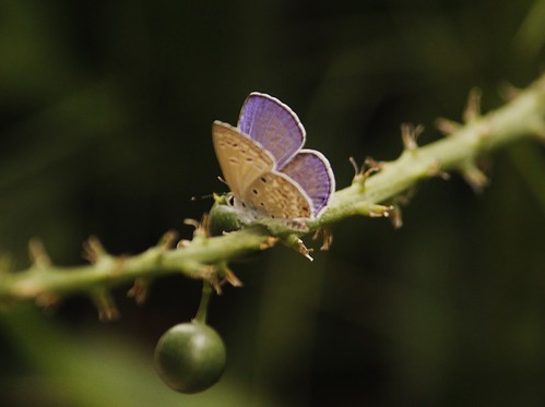 Butterfly-Adyar-Poonga-1