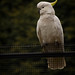 Sulphur-crested Cockatoo by jaysonb485