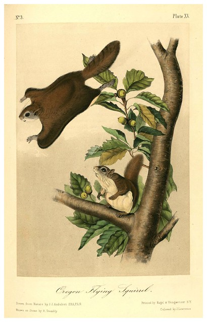 007- Ardilla voladora de Oregon-The quadrupeds of North América-Vol1- 1849- J.J. Audubon-Universite de Strasbourg