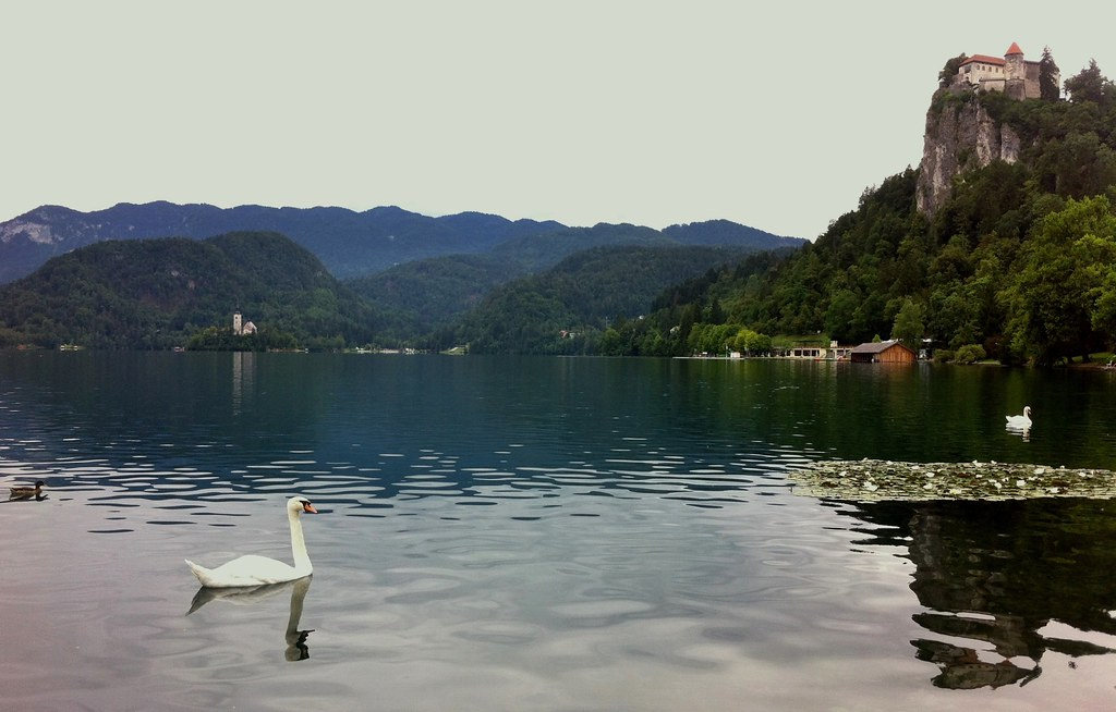 Lake Bled Castle and swans