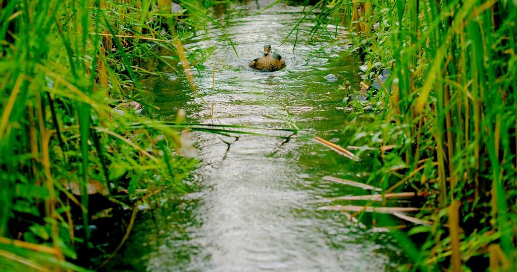Wood Duck_2