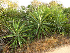 agave, leaf, grass, tree, plant, flora, agave azul, vegetation,