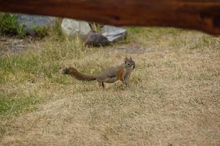 039 Amerikaanse rode eekhoorn