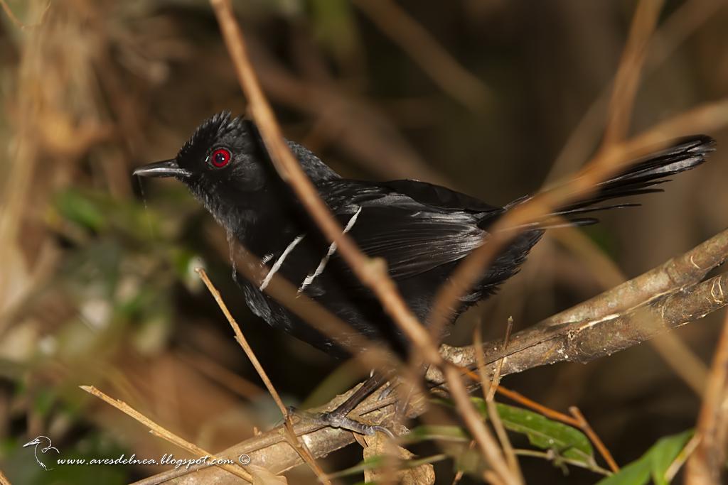 Batará negro (White shouldered Fire-Eye) Pyriglena leucoptera
