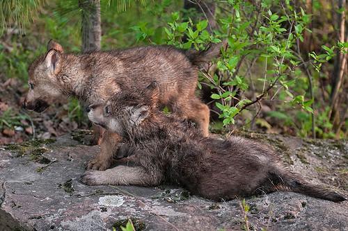 Grey Wolf Pups (Canis lupus), British Columbia, Canada
