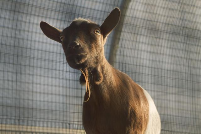 Goat at Tindercrop Farm; Newbury, Massachusetts (2015)