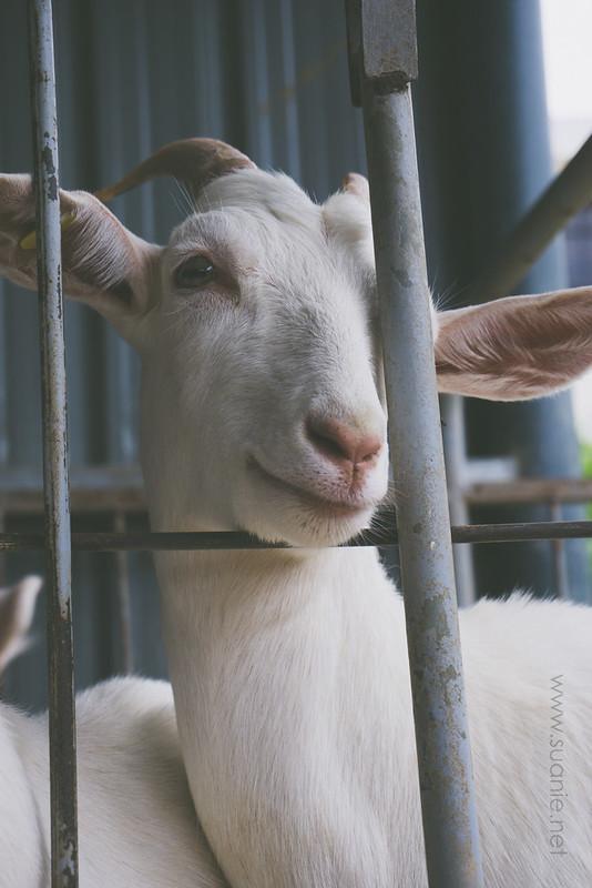 Goat in captivity, Kundasang, Sabah