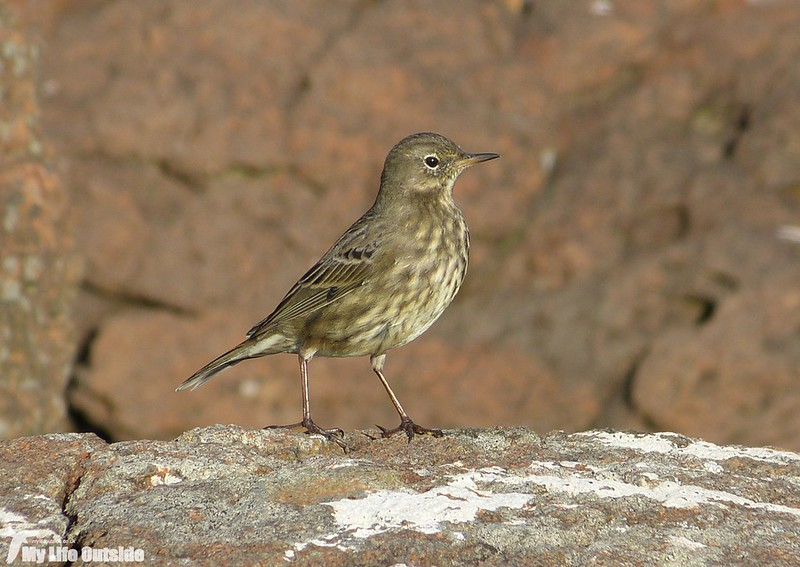 P1160035 - Rock Pipit, Isle of Mull 2015