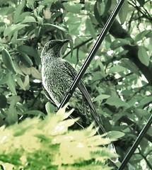Little Wattle Bird.