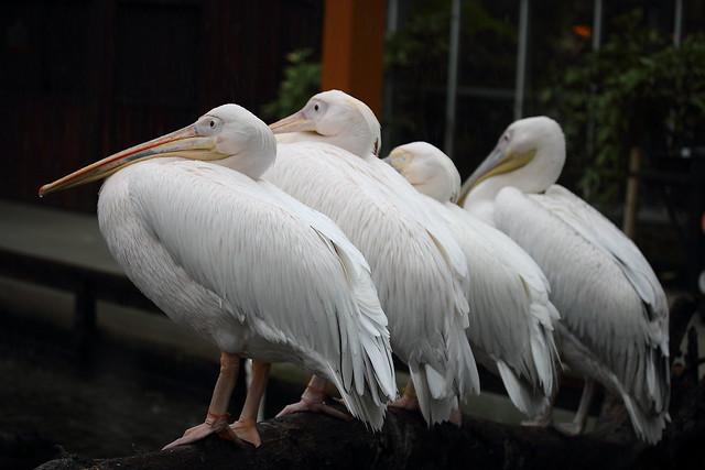 モモイロペリカン / White pelican
