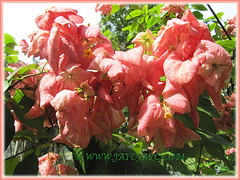 Gorgeous salmon-pink bracts of Mussaenda philippica 'Dona Luz', January 18 2012