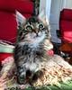 Meet Thor, my parent's new forest kitten.