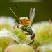 Acacia Gall Wasp and her Ovipositor by debatron500