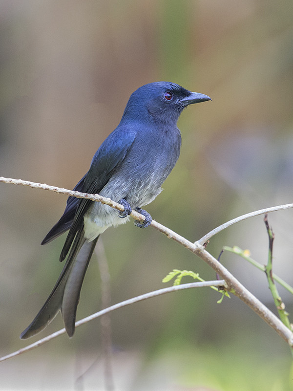 White-bellied Drongo 2