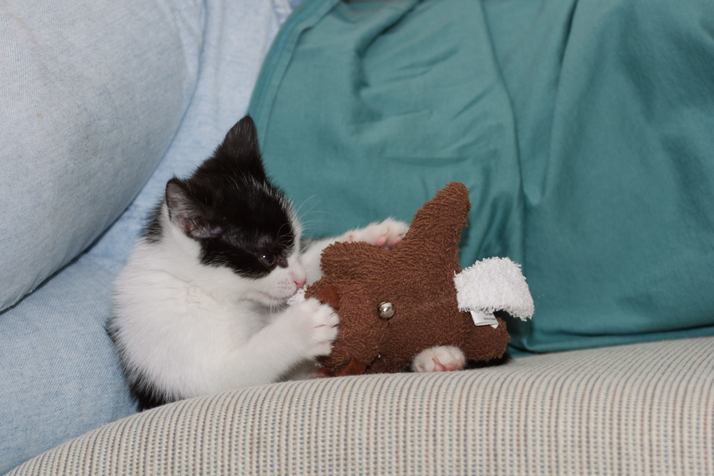 Our cat Scout as a kitten playing with a toy beaver