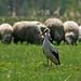 White Stork (Mati Kose)