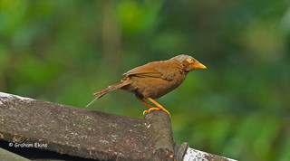 Orange-billed Babbler,  Turdoides rufescens,  Sri lanka Endemic