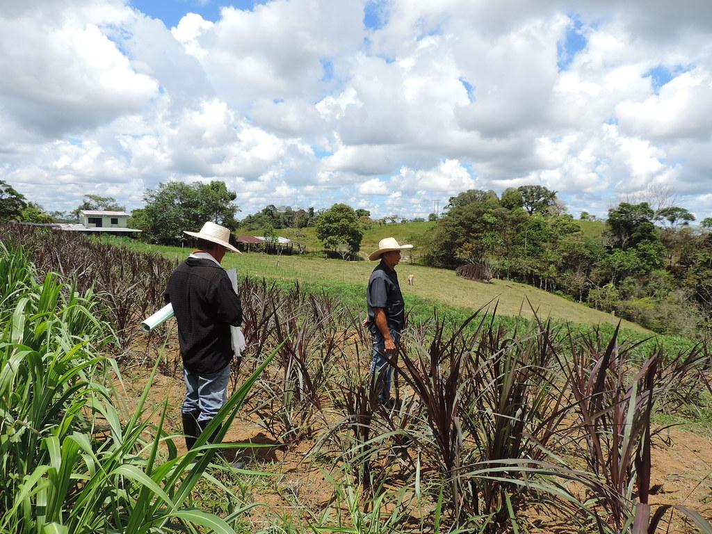 Plantas de king grass morado en banco mixto de forrajes