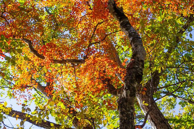 カエデの高木@ウノタワ手前の稜線
