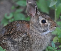 animal(1.0), rabbit(1.0), domestic rabbit(1.0), pet(1.0), fauna(1.0), wood rabbit(1.0), degu(1.0), whiskers(1.0), rabits and hares(1.0), wildlife(1.0),