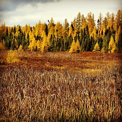 Tamaracks are changing.  #bearskinlodge #gunflinttrail #bestfallever #tamarack #onlyinmn