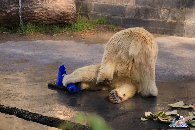 Eisbär Fiete im Zoo Rostock 26.09.2015   0232