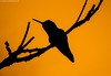 Hummingbird Silouhette by Saana Londono Photographie