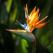 Strelitzia - Bird of Paradise Flower