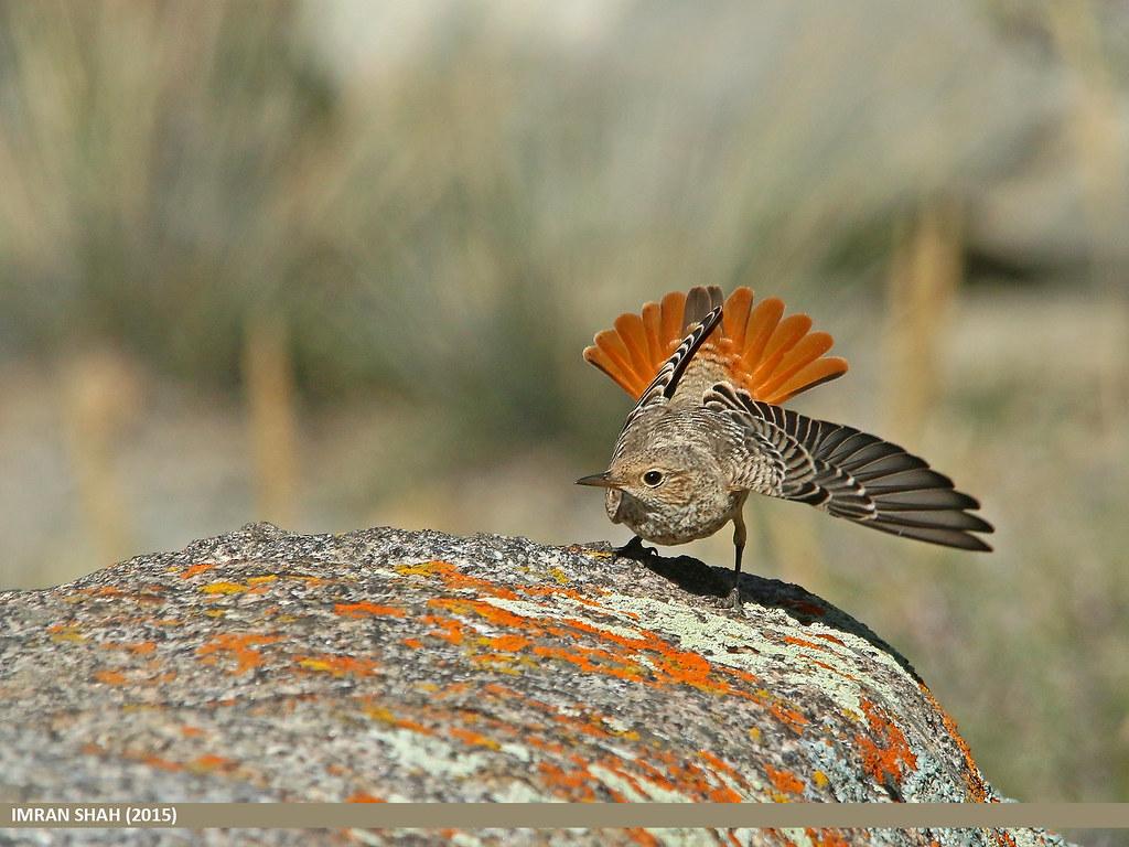 Rufous-tailed Rock Thrush (Monticola saxitilis)