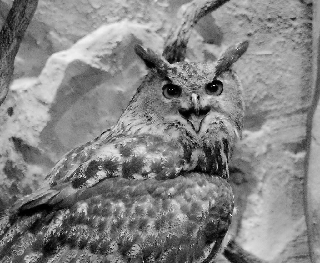 Eagle Owl_3