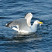 Small photo of American herring gull (Larus smithsonianus) while fishing