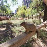 Plague carrying rock squirrel, Zion