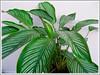 Calathea elliptica 'Vittata' (Calathea Vittata, Prayer Plant Vittata)