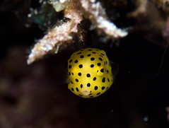 Juvenile Yellow Boxfish - Ostracion cubicus