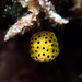 Small photo of Juvenile Yellow Boxfish - Ostracion cubicus