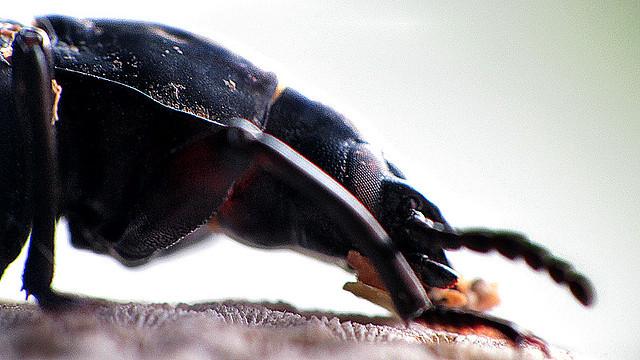 Besouro Tenébrio Gigante - Beatle or Superworm,  Zophobas - (Zophobas Morio)