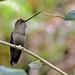 Doryfera ludovicae - Photo (c) Arley Vargas, algunos derechos reservados (CC BY-NC-ND)