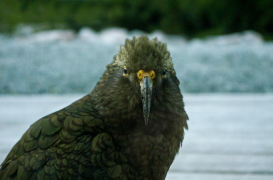 kea from Milford Sound Lodge2 22 7 15 K55732