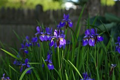 Iris at Home 02