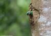 Layard's parakeet Female - Nesting