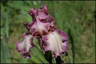 Iris Rancho Rose (1)