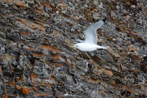 Barnacle Goose (Vitkindad gås)