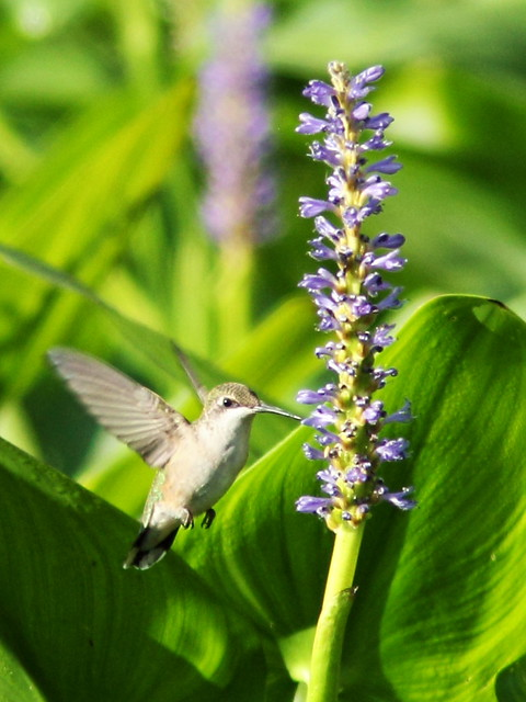 Ruby-throated Hummingbird 3-20150914