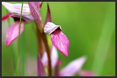 Orchis Serapia Lingua