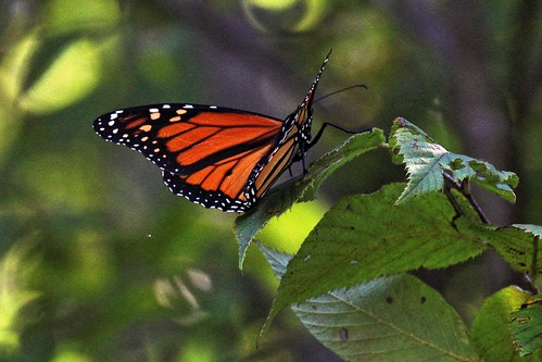 IMG_6163a_Monarch_Butterfly