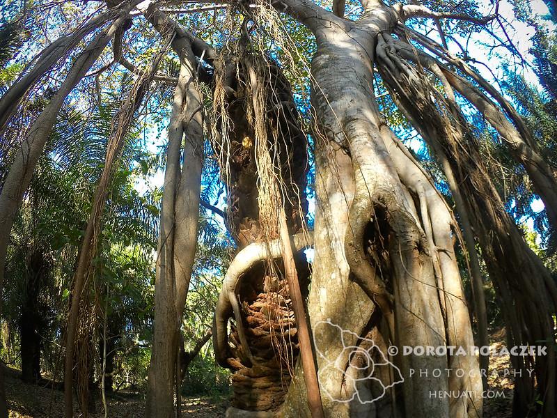 Strangler fig (Ficus dendrocida)