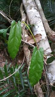 Cairns birdwing vine, Pararistolochia deltantha