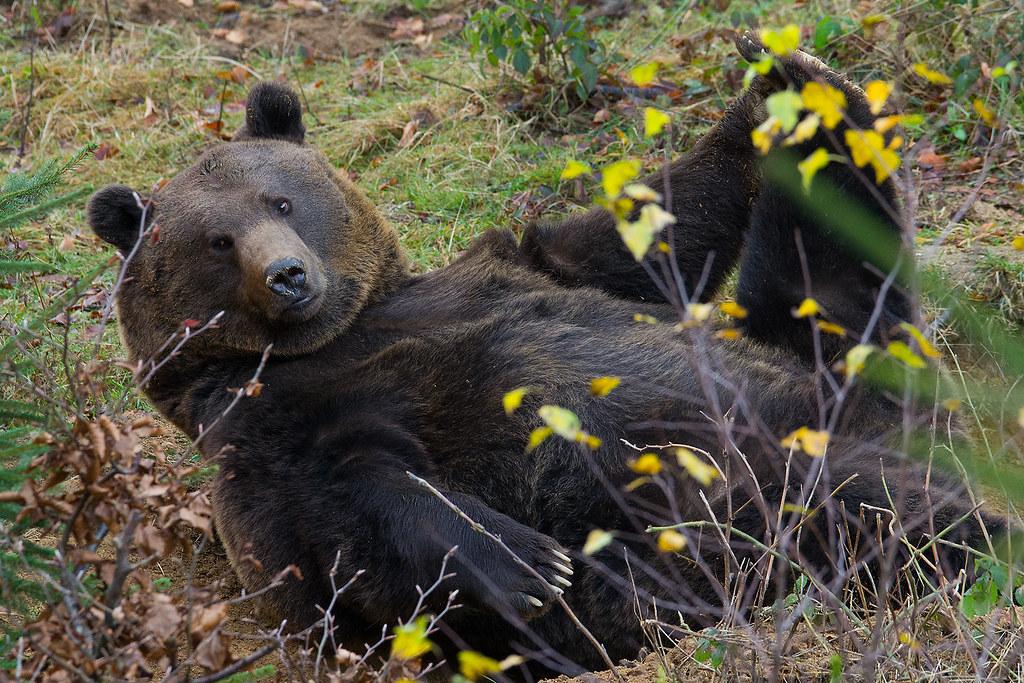 Bären Joga