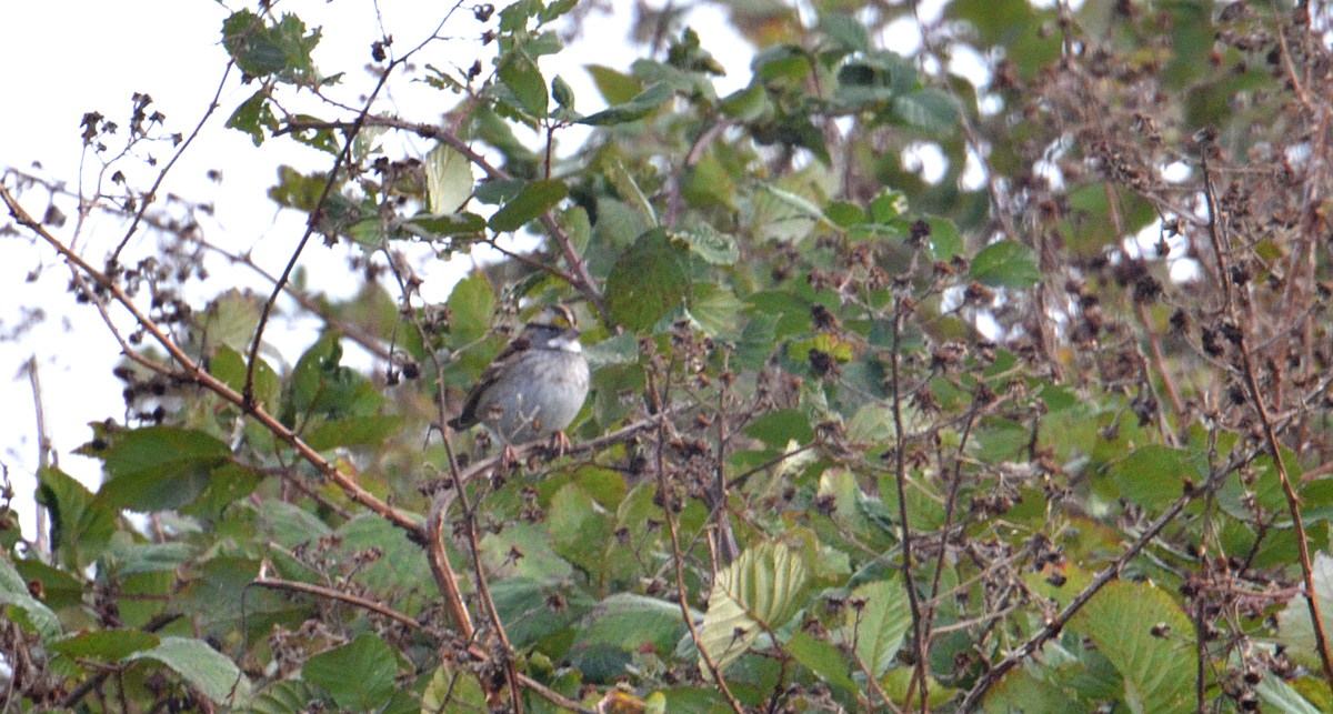 White-throated Sparrow - 11/3/2015